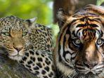 harimau-dan-macan.jpg
