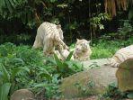 harimau-putih.jpg