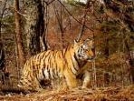 harimau-siberia_20161021_231700.jpg