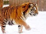 harimau-siberia_20180203_151439.jpg