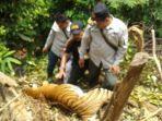 harimau-sumatera-tewas-tergantung-ditepi-jurang_20180928_140020.jpg