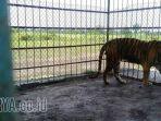 harimau-sumatera_20170330_165859.jpg