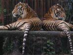harimau-sumatera_20170729_084027.jpg