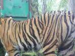harimau-sumatera_20181027_202136.jpg