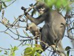 ilmuwan-temukan-primata-baru-lutung-popa.jpg