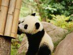 ilustrasi-anak-panda-yang-lucu.jpg