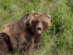 ilustrasi-beruang-berwarna-cokelat.jpg