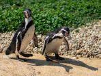 ilustrasi-dua-ekor-penguin.jpg