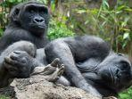 ilustrasi-gorila-di-kebun-binatang-bronx.jpg