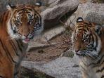 ilustrasi-harimau-malaya.jpg