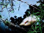 ilustrasi-ikan-mati-di-danau.jpg