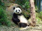ilustrasi-panda-yang-tengah-bersantai.jpg