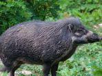 ilustrasi-seekor-babi-hutan.jpg
