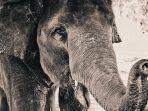 ilustrasi-seekor-gajah.jpg