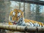 ilustrasi-seekor-harimau.jpg