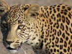 ilustrasi-seekor-macan-tutul.jpg