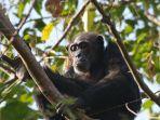 ilustrasi-simpanse.jpg
