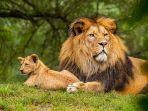 ilustrasi-singa-di-kebun-binatang.jpg