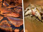 ilustrasi-ular-piton-di-florida.jpg