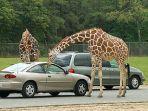 ilustrasi-wisata-safari-drive-thru.jpg