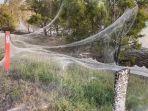 jaring-laba-laba-selimuti-pedesaan-di-australia.jpg