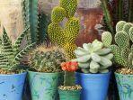 kaktus-satu-di-antara-bahan-alami-yang-tak-biasa-untuk-jadi-bahan-makanan.jpg