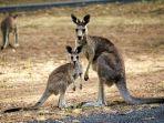 kangguru-hewan-endemik-australia.jpg