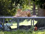 kebun-binatang-parc-de-thoiry_20180716_212846.jpg