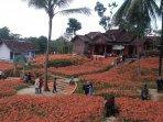 kebun-bunga-amarilis-1.jpg