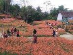 kebun-bunga-amarilis-2.jpg