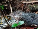king-cobra-menelan-tubuh-ular-piton.jpg