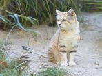kucing-pasir_20171130_211211.jpg