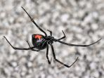 laba-laba-black-widow_20171002_175129.jpg