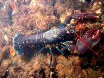 lobster_20180116_144430.jpg