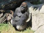 malabo-gorila-yang-menyerang-petugas-kebun-binatang.jpg