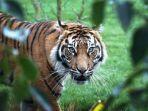 melati-harimau-sumatra-betina.jpg