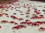 migrasi-kepiting-merah-di-pulau-christmas.jpg