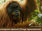 orangutan-tapanuli_20171103_164027.jpg