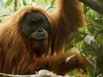 orangutan-tapanuli_20181025_113205.jpg