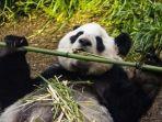 panda-di-kebun-binatang-calgary.jpg