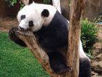 panda-lucu-di-taman-safari-bogor-1.jpg