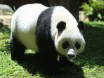 panda-raksasa-di-taman-safari-indonesia-bogor_20171130_103117.jpg