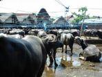 pasar-hewan-ternak-rantepao-kabupaten-toraja-utara-sulse.jpg