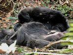 peneliti-mengamati-perilaku-gorila-yang-berduka-ketika-ada-anggotanya-meninggal.jpg