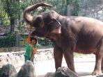 petugas-sedang-memberi-makan-satwa-gajah.jpg
