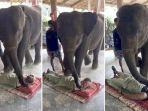 pijatan-gajah.jpg
