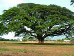 pohon-trembesi_20180507_160933.jpg