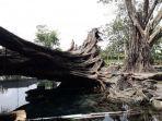 pohon-tua-yang-tumbang-di-umbul-manten.jpg