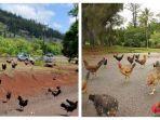 pulau-kauai-yang-dihuni-banyak-ayam.jpg