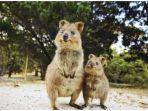 quokka-di-rottnest-island-australia-barat.jpg